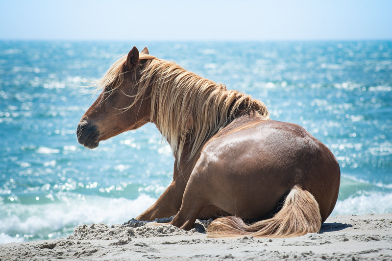 Wild Horse Laying Down by the Sea, Assateague Island National Seashore