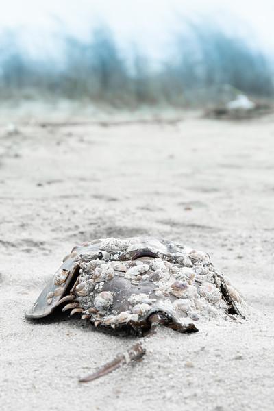 Barnacled Horseshoe Crab Portrait