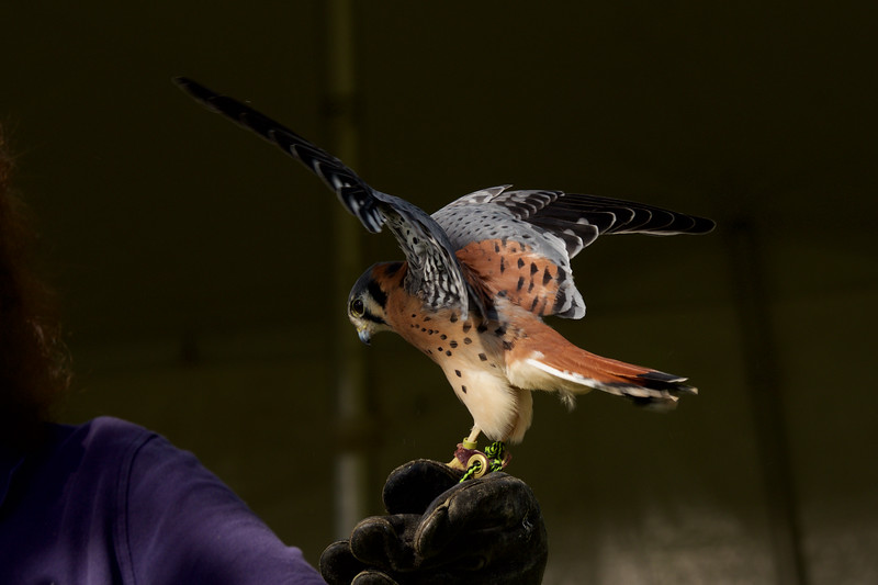 American Kestrel ~ Falco sparverius ~ Great Lakes and Watershed
