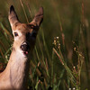 curious fawn ~ Huron River Watershed, Michigan