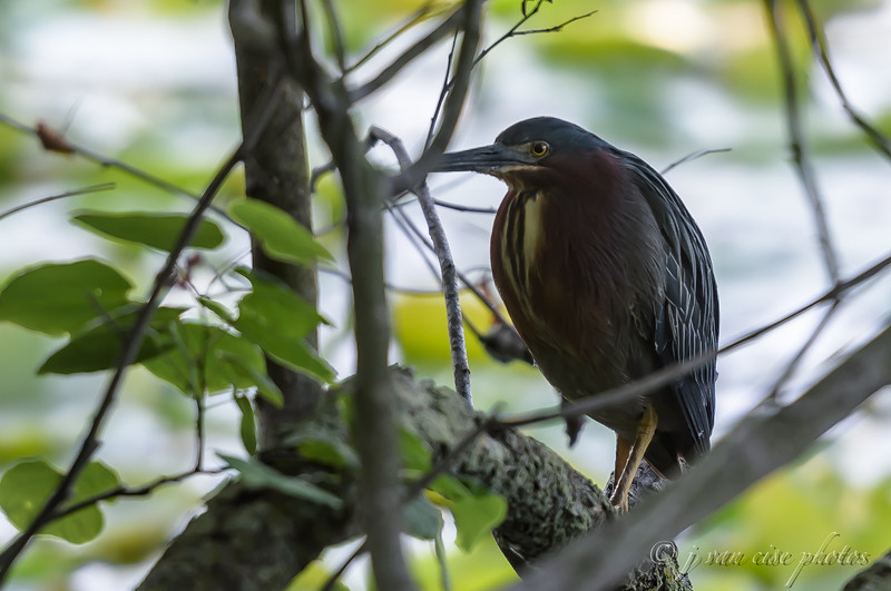 Green Heron ~ Butorides virescens ~ Huron River