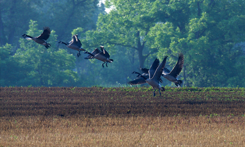 on the wing again ~ Canada Geese ~ Branta canadensis ~ Huron River and Watershed