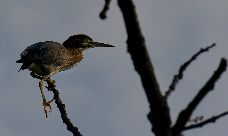 Green Heron, Juvenile ~ Butorides virescens ~ Huron River, Michigan
