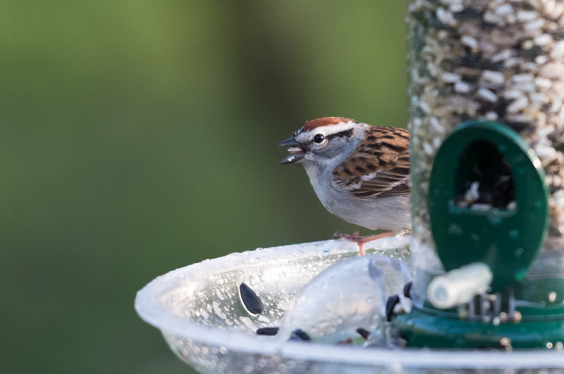 Chipping Sparrow, Feasting After the Rain ~ Spizella passerina ~ Huron River and Watershed