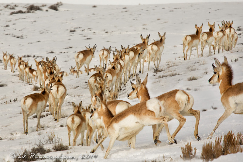 Retreat of the Pronghorns!