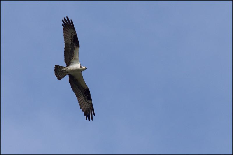 Osprey ~ Pandion haliaetus ~ Croatan National Forest, North Carolina