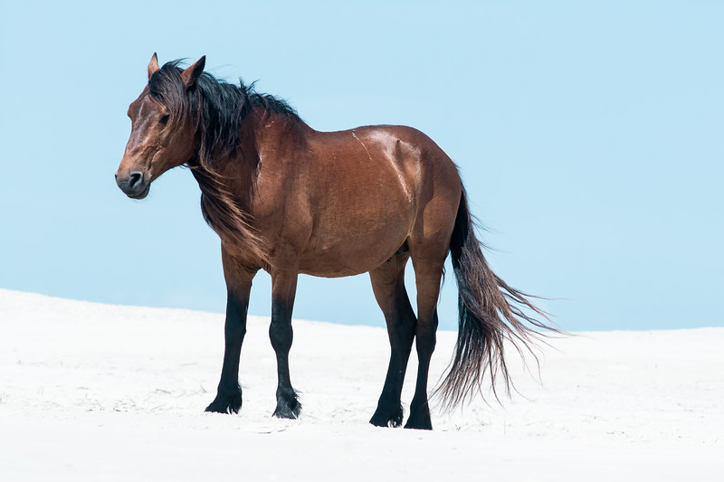 Wild Young Stallion Portrait, Assateague Island National Seashore