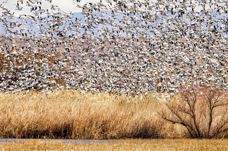 Snow Geese Swarm