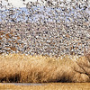 Snow Geese Swarm
