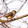 Tufted Titmouse ~ Baeolophus Bicolor ~ Huron River and Watershed, Michigan