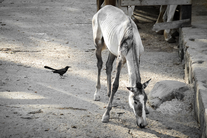 Foal in the Corral with Black Bird
