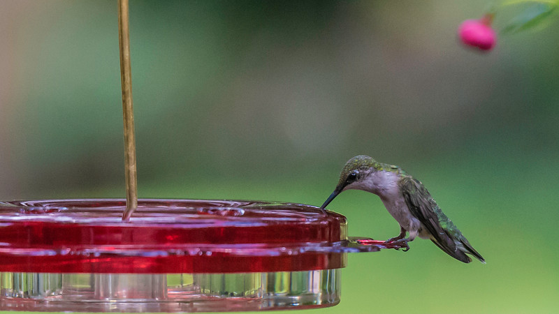 Wrapping All These Beautiful Pixels Around this Sweet Little Jewel ~ Ruby-throated Hummingbird, Female ~ Archilochus colubris ~ Huron River and Watershed, Michigan