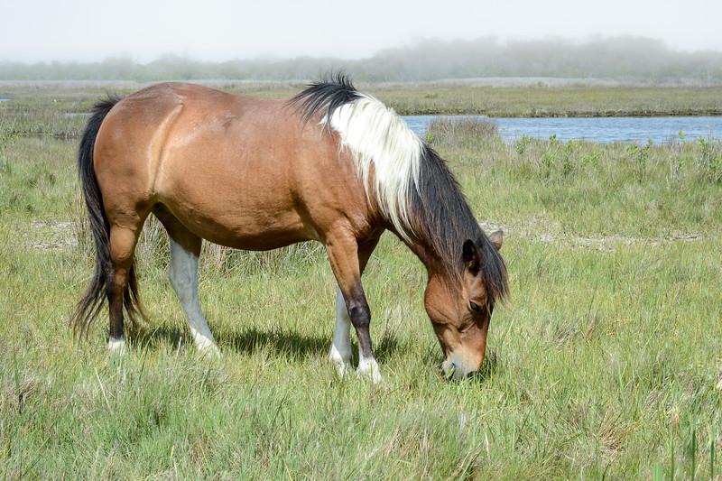 Wild Horse Grazing on Foggy Day, Assateague Island National Seashore