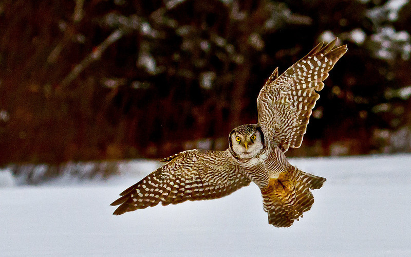 Hawk Owl in Flight