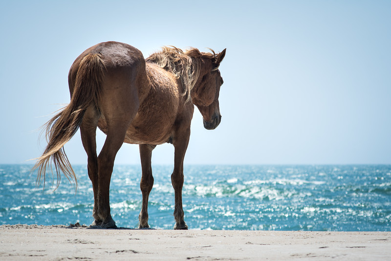 Wild Horse Looking Out to Sea, Assateague Island National Seashore
