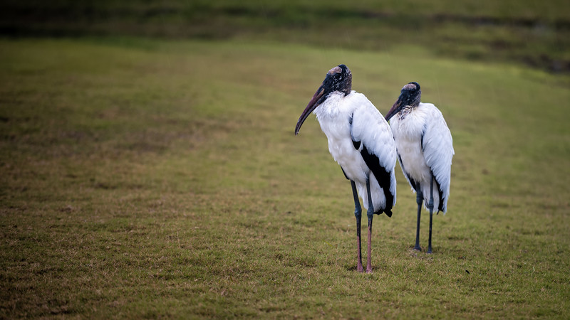 Pair of Wood Storks in the Rain ~ Mycteria americana