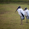 Pair of Wood Storks in the Rain ~ Mycteria americana