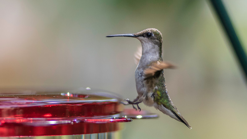 Ruby-throated Hummingbird, Female ~ Archilochus colubris ~ Huron River and Watershed, Michigan