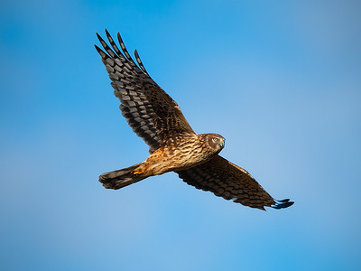 Marsh Hawk Flyby