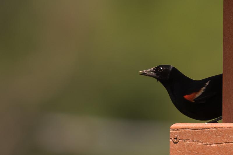Red-winged Blackbird ~ Agelaius phoeniceus ~ Upper Mahoning River Watershed, Ohio