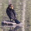 Migrating Double-crested Cormorant ~ Phalacrocorax auritus ~ Huron River Watershed, Michigan
