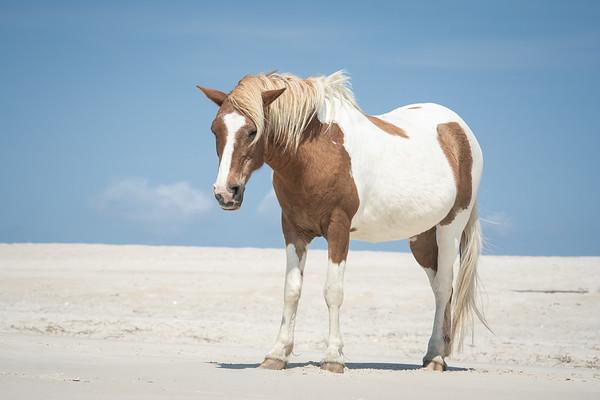 Solitary Wild Horse Portrait, Assateague Island National Seashore