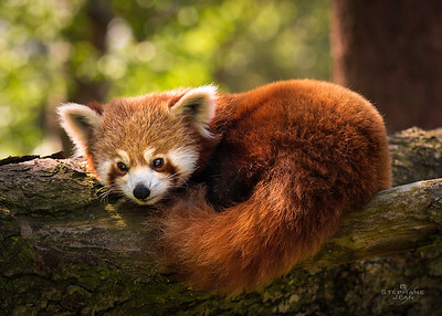 Red Panda daydreaming