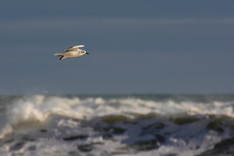 Bonaparte's Gull (adult in winter plumage) ~ Chroicocephalus philadelphia ~ Southern Outer Banks