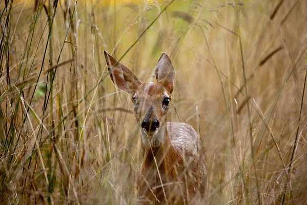 Fawn in High Grass