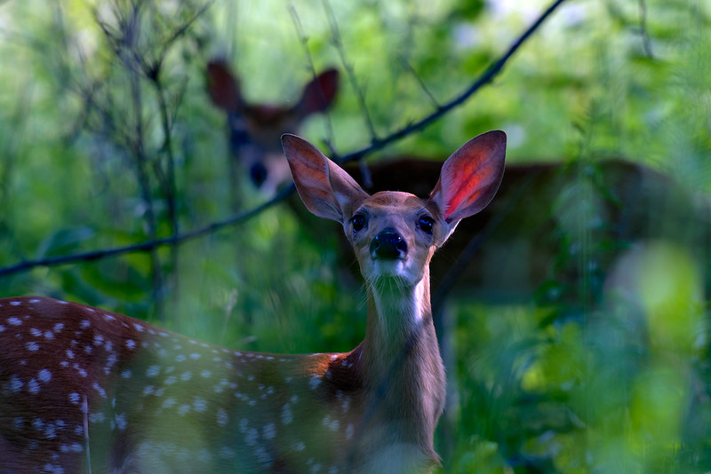 fawn with mom ~ Alex Dow Field (Tall Grass Prairie), Nichols Arboretum, Michigan