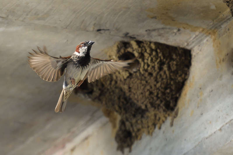 House Sparrow, Near Cliff Swallow Nest ~ Passer domesticus ~ Huron River