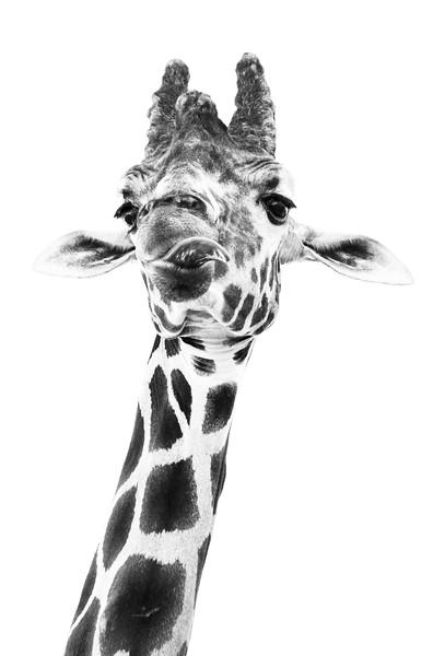 Giraffe Head Shot BnW
