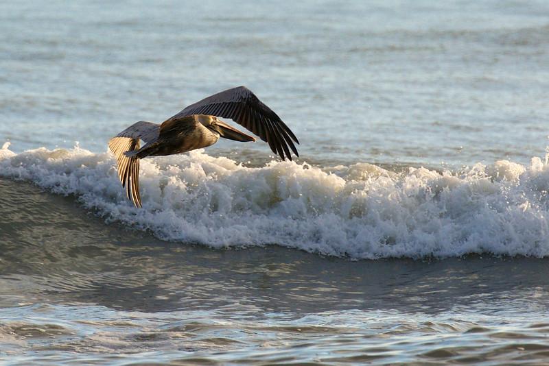 Brown Pelican ~ Pelecanus occidentalis ~ Southern Outer Banks