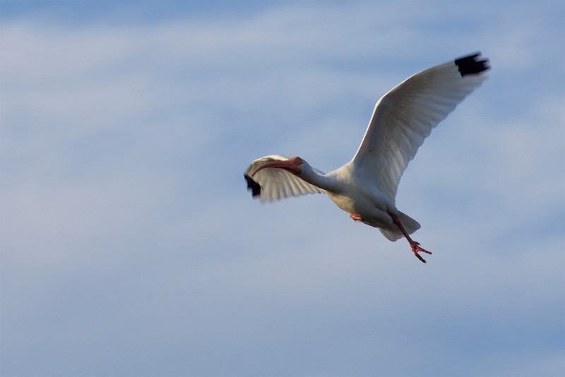 flying White Ibis ~ Eudocimus albus ~ Southern Outer Banks