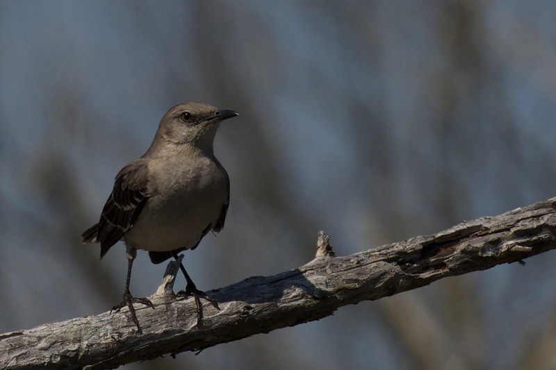 Northern Mockingbird ~ Mimus polyglottos ~ Southern Outer Banks