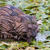 Marsh Creature ~ Perhaps a Muskrat? ~ Metzger Marsh Wildlife Area, Ohio