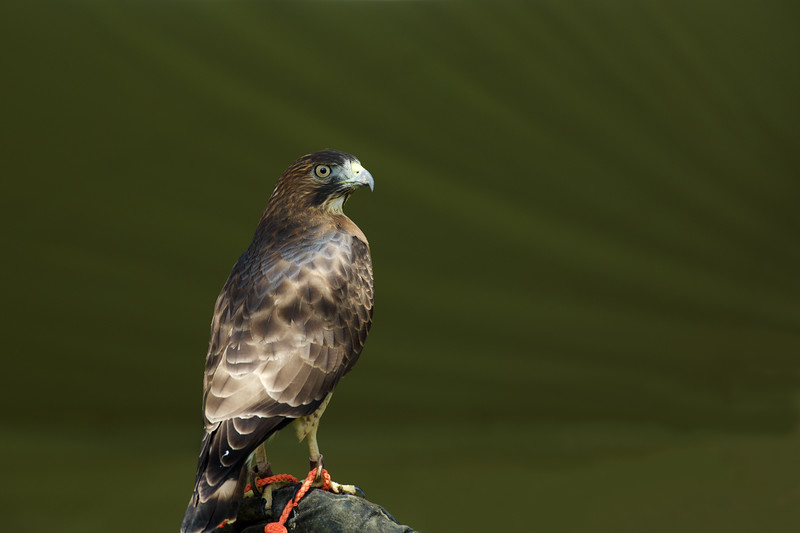 Broad-winged Hawk ~ Buteo platypterus ~ Great Lakes and Watershed