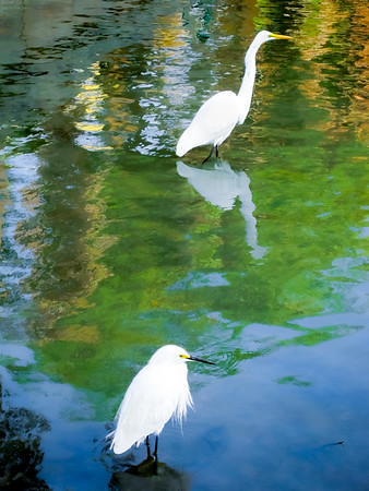 Great White Egret and Snowy Egret Togetherness