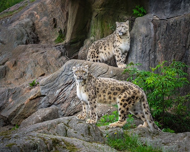 Snow Leopards posing