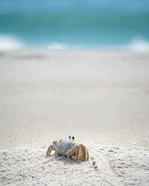 Atlantic Ghost Crab by the Ocean