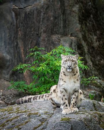 Snow Leopard Posing