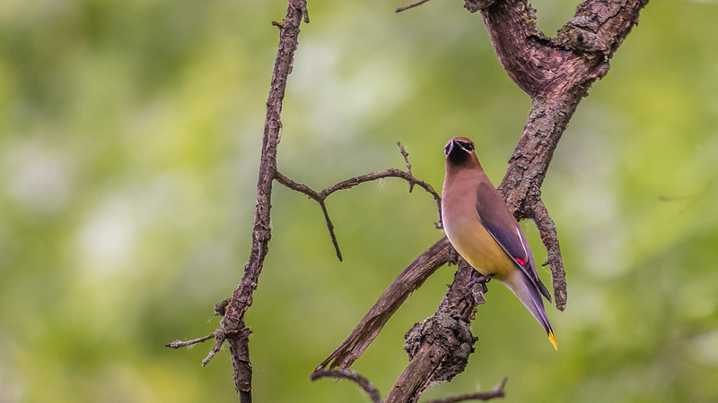 Cedar Waxwing ~ Bombycilla cedrorum ~ Huron River and Watershed