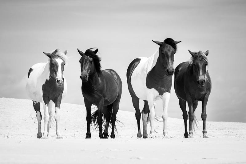 Wild Horse Foursome Portrait, Assateague Island National Seashore, BnW
