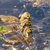 Three Little Goslings ~ Branta canadensis ~ Huron River, Michigan