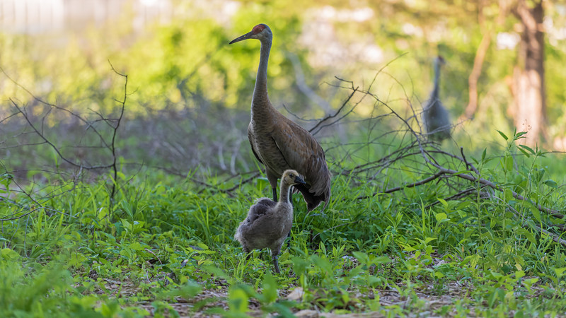 Family ~ Adopted Canada Gosling, Mama Sandhill Crane, and Papa Sandhill Crane keeping watch over his family ~ Branta canadensis and Antigone canadensis ~ Kensington Metropark, Michigan