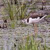 Black-necked Stilt, Juvenile ~ Himantopus mexicanus ~ Metzger Marsh Wildlife Area, Ohio