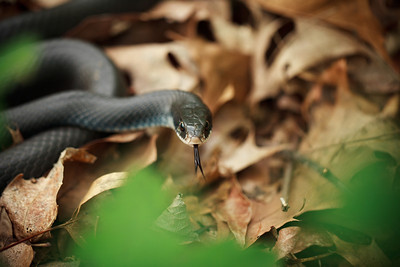 Black Rat Snake (Elaphe obsoleta [Colubridae]), Tyson Forest Dynamics Plot