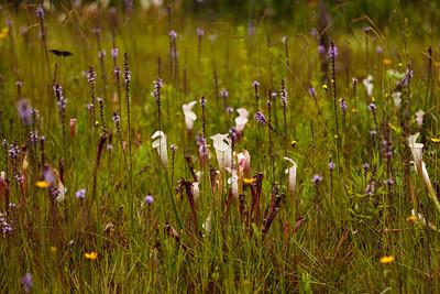 Groundcover Biodiversity, Splinter Hill Bog Preserve, Alabama