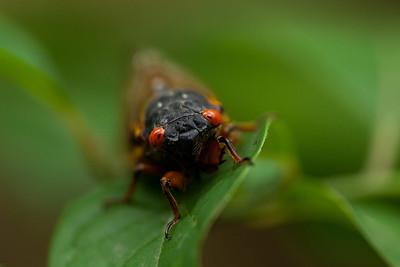 Cicada, Tyson Forest Dynamics Plot, Summer 2011