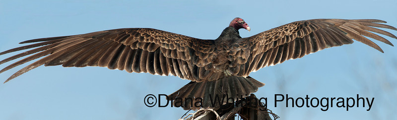 Turkey Vulture Pano  It's Murphy's law that I never have the right amount of lens for the job. In order to get this bird with his wings spread I had to shoot two frames and stitch them together. I had a series of three with all the wing in but because I was in aperture mode the exposure was off. For now, this is what I came up with. The original pano was 39 inches. This bird has an impressive wingspan!